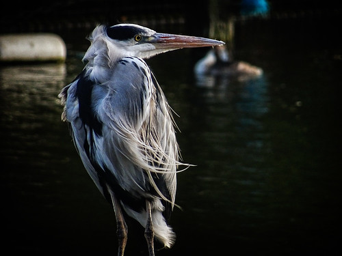 Grey Heron by the Serpentine