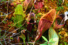 Pitcher Plants are carnivorous and are native to Northern Minnesota. by U.S. Fish and Wildlife Service - Midwest Region