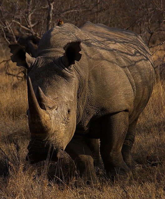 Bird sitting on a two horned Rhino