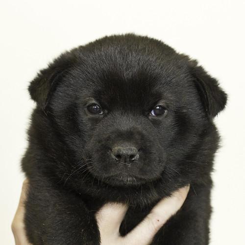 Nori-Litter3-Day33-Pup1(female)a