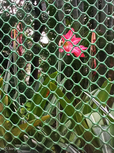 Flower bhind fence