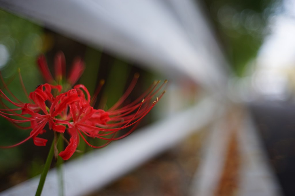 The red spider lily in neighborhood 2015/09 No.1.