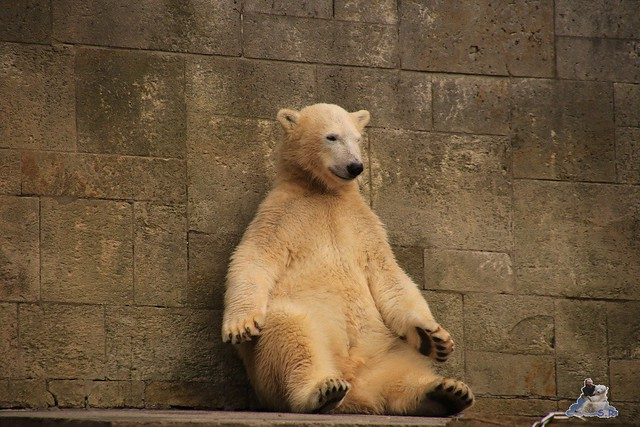 Eisbär Fiete im Zoo Rostock 19.09.2015 Teil 2  0121