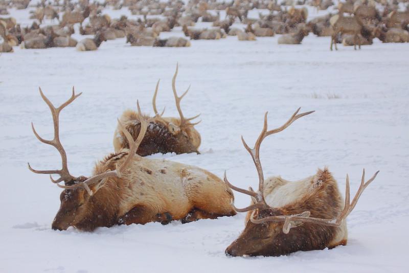 IMG_0785 National Elk Refuge