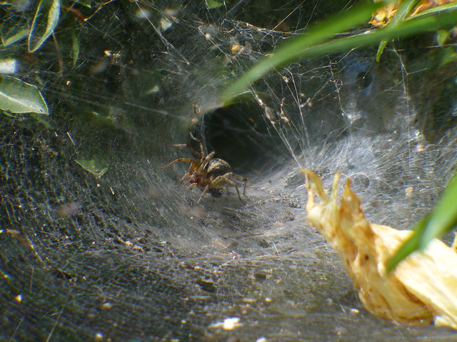 agelena_labyrinthica_by_flanker_27-d60zb2c