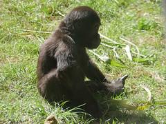 AK young gorilla