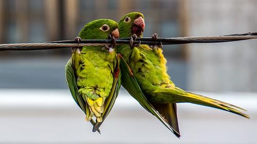 #maritacas #Sorocaba #aves