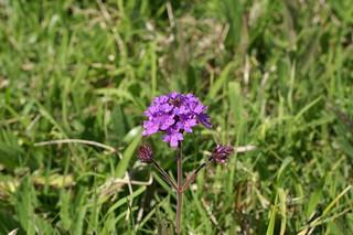 Verbena rigida flowerhead3