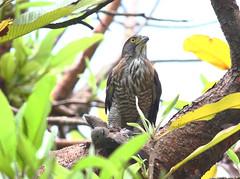 都市公園常見的鳩鴿科,是鳳頭蒼鷹常捕捉的食物來源。攝影:楊明淵。
