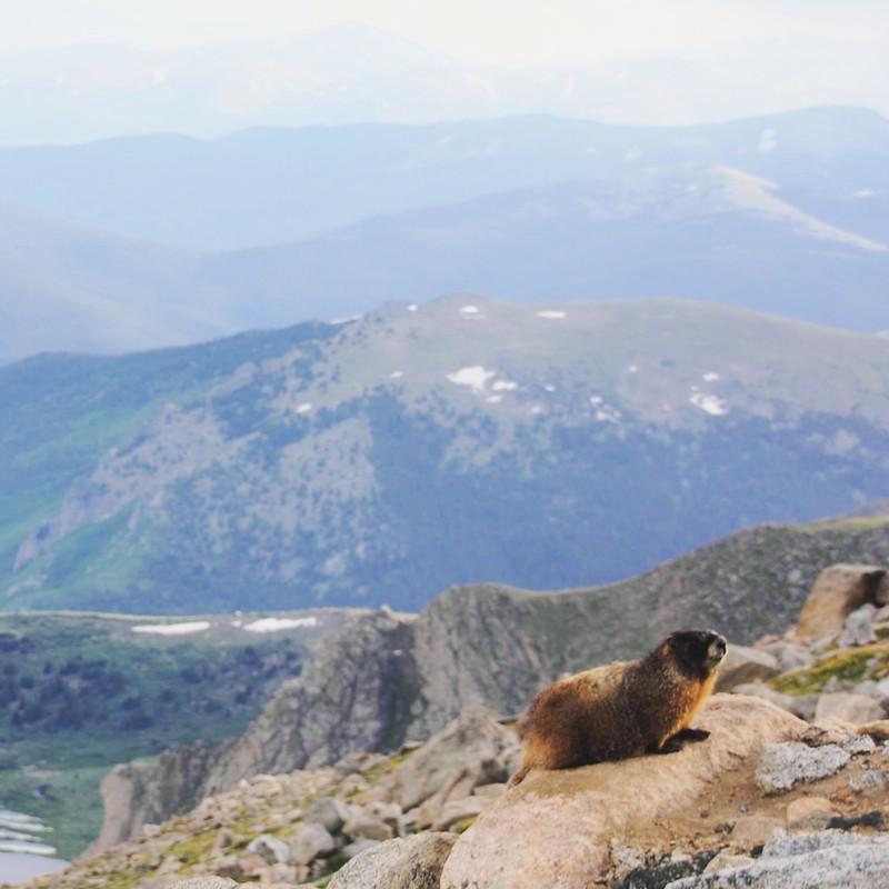 Murmeli / Marmot