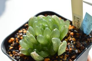 DSC_0586 Haworthia transiens JIL334 De vulgt, Klein Plasie