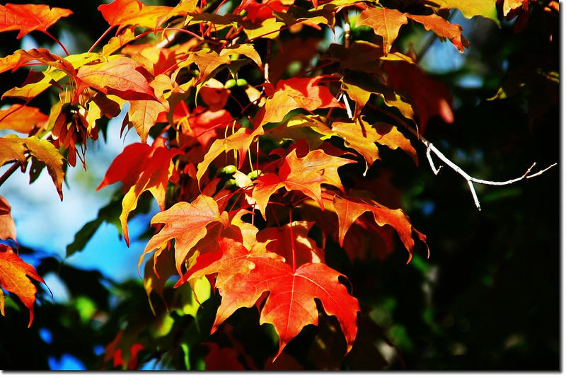 Sugar maple leaves (5)