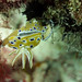 Chromodoris geminus nudibranch by saraest
