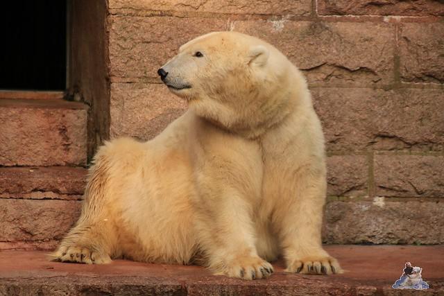 Eisbär Fiete im Zoo Rostock 31.10.2015 Teil 1  0154