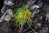 Grass Tuft on Rock