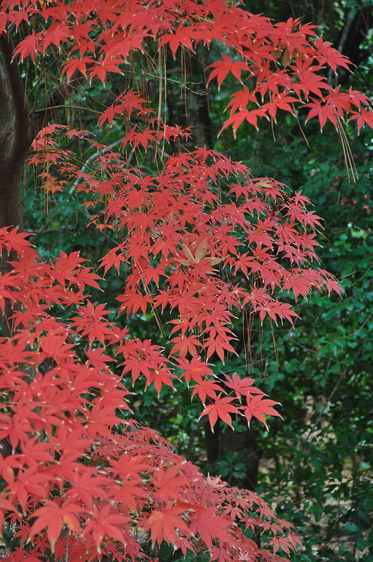 Acer palmatum 'Christy Ann' (1)
