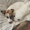 Fanny had a little lamb #dogsofinstagram #muttsofinstagram #ilovemydog #fannypup