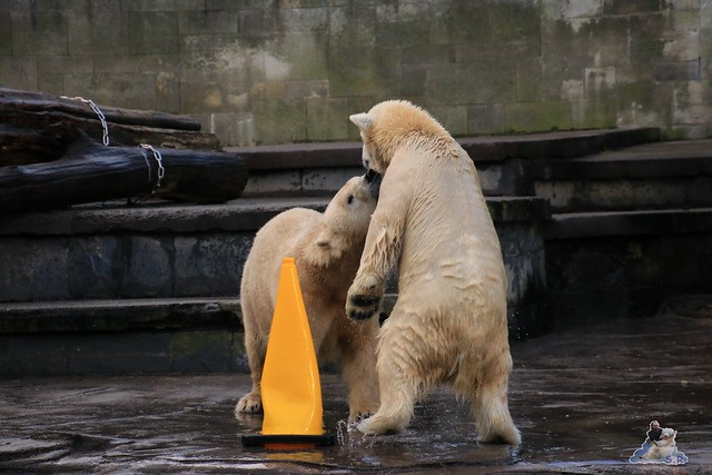 Eisbär Fiete im Zoo Rostock 13.12.2015  193