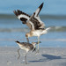 Wacky Willets by PeterBrannon