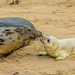 GREY SEAL MOTHER & PUP by K.J.P.Landscapes