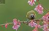 NZ Bellbird 06