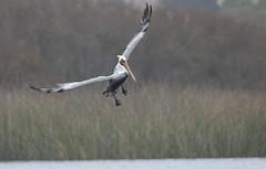 Brown pelican, Pelecanus occidentalis, California, USA