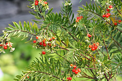 larch(0.0), shrub(0.0), hippophae(0.0), produce(0.0), rowan(0.0), spruce(0.0), evergreen(1.0), flower(1.0), branch(1.0), tree(1.0), plant(1.0), flora(1.0), aquifoliaceae(1.0),