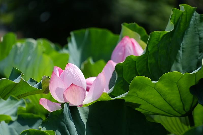 lotus / 蓮
