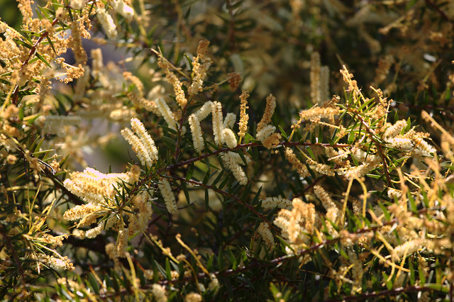 Header of Acacia oxycedrus