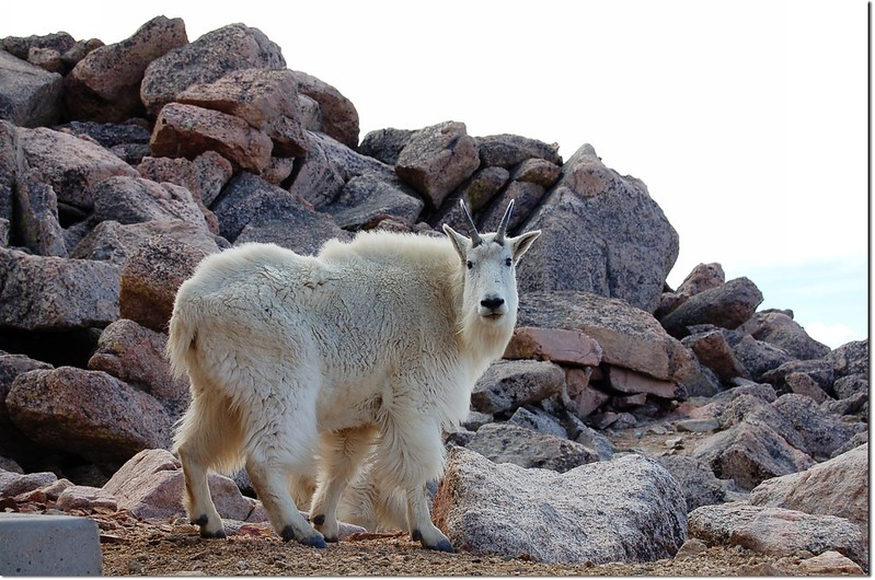 Mountain goats(Mt. Evans) 4