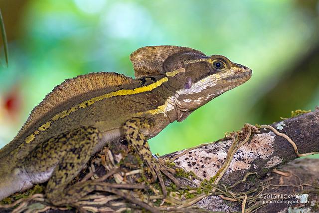 Basilisk (Basiliscus sp.) - DSC_8851