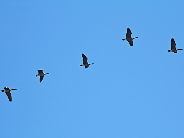 Canada Geese 20150926