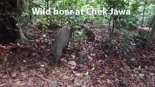 Wild boar being wild at Chek Jawa