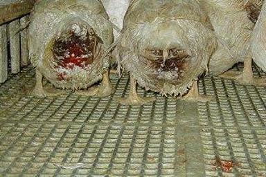 相片來源:PETA 善待動物組織
