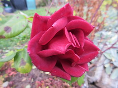 November roses - Terracotta