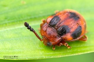 Ladybird mimic fungus beetle (Endomychidae) - DSC_8553