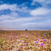 Atacama Flourished Desert by Belier Photography
