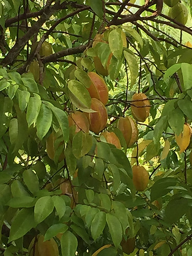 Star Fruit in Costa Rica The Most Beautiful Jungle Paradise