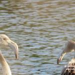 Flamencos en las lagunas de La Guardia (Toledo)