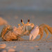 Eye to Eye with a Ghost Crab by Amy Hudechek Photography