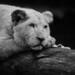 Lionceau blanc | White lion cub