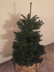 Christmas tree before trimming.
