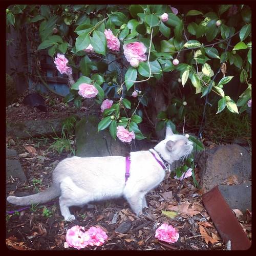 la chat dans au camellias