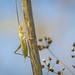 Small photo of Tree Cricket (Oecanthus sp.)