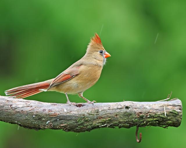 Northern Cardinal 20d_2628
