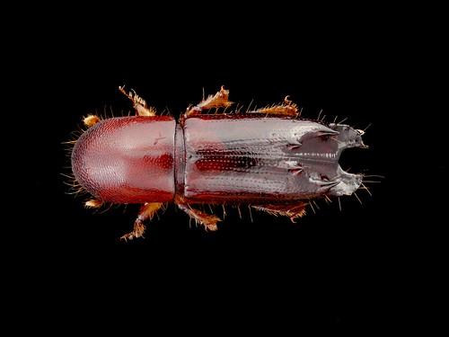 Scolytidae