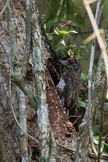 Arrowhead Piculet (Picumnus minutissimus)