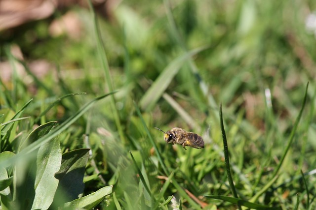 Colletes inaequalis mid flight