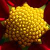 Dahlia flower RHS Wisley