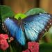 Blue Morpho 12.11.15 by Katie Weyant